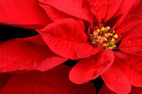 Red Satin Poinsetta