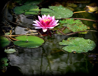 Chinese Lily Pad